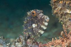 BD-160101-Malapasqua-1746-Paramonacanthus-choirocephalus-(Bleeker.-1851)-[Pig-faced-leather-jacket].jpg